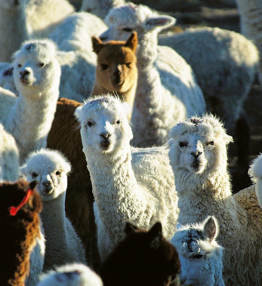 Industrie textile du Pérou - Alpagas
